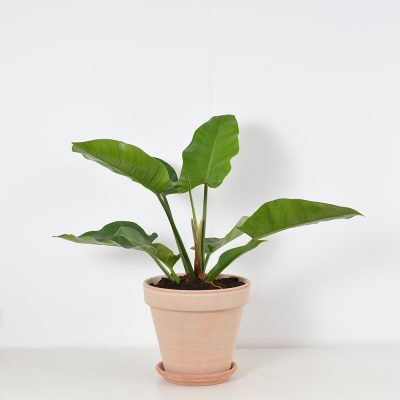 Philodendron Green Imperial