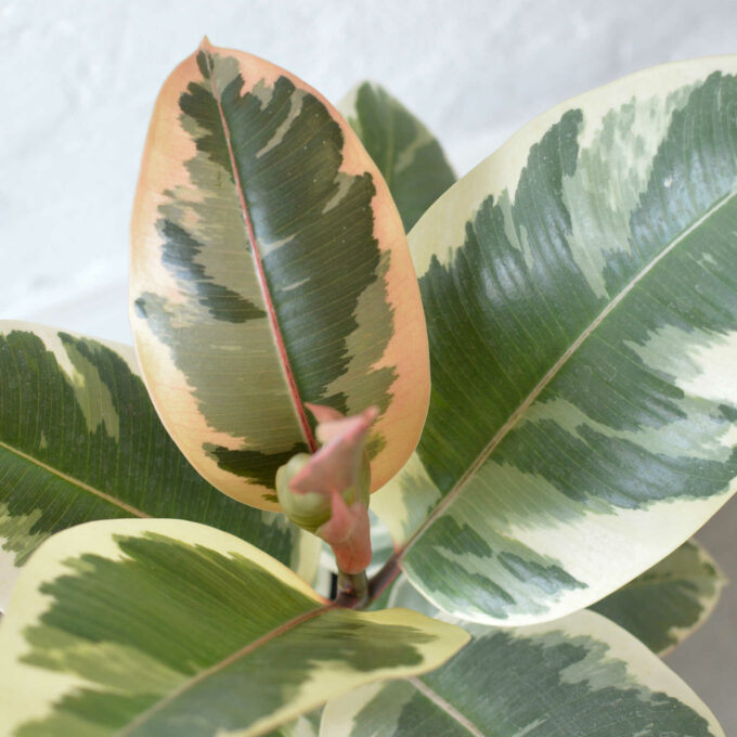 Ficus Robusta Tinike