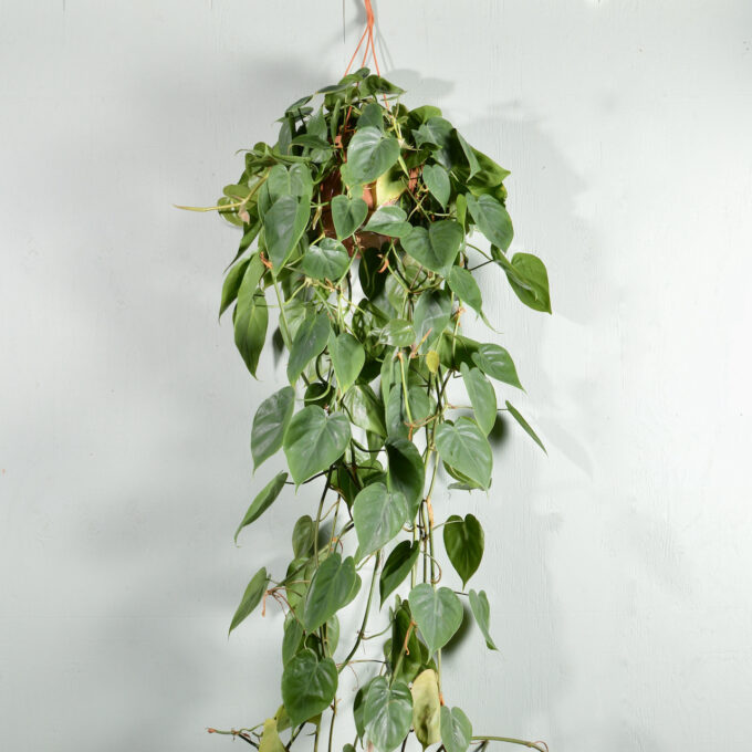 Philodendron Scandens