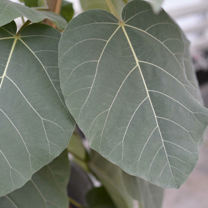 Ficus Everest