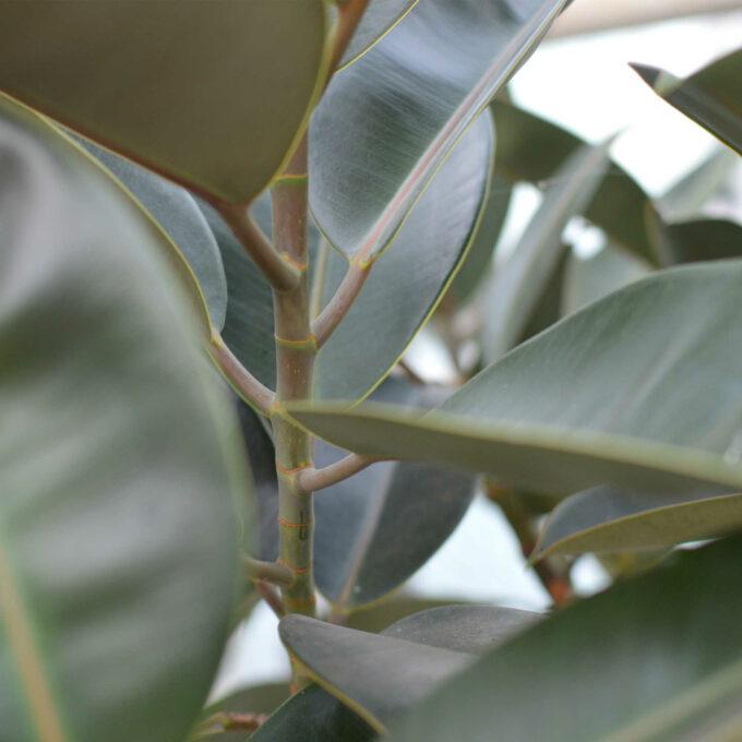 Ficus Burgundy