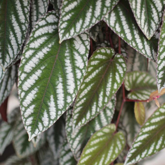 Cissus Tricolour