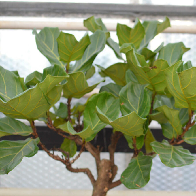 Opstammet Ficus Lyrata