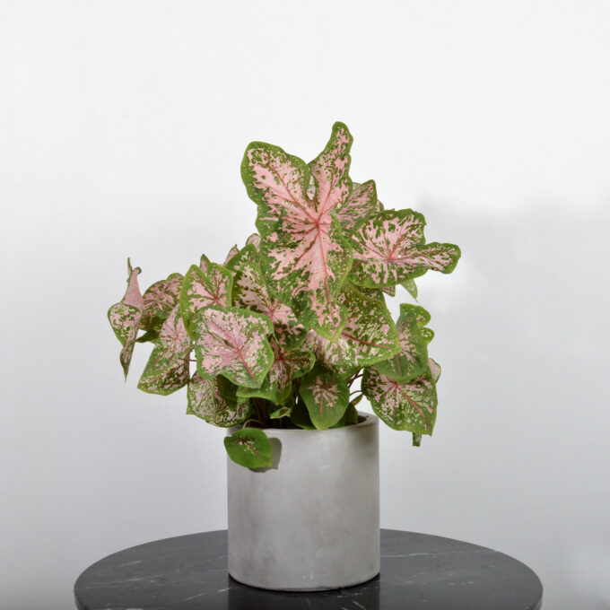 Caladium Pink Beauty (Elefantøre)