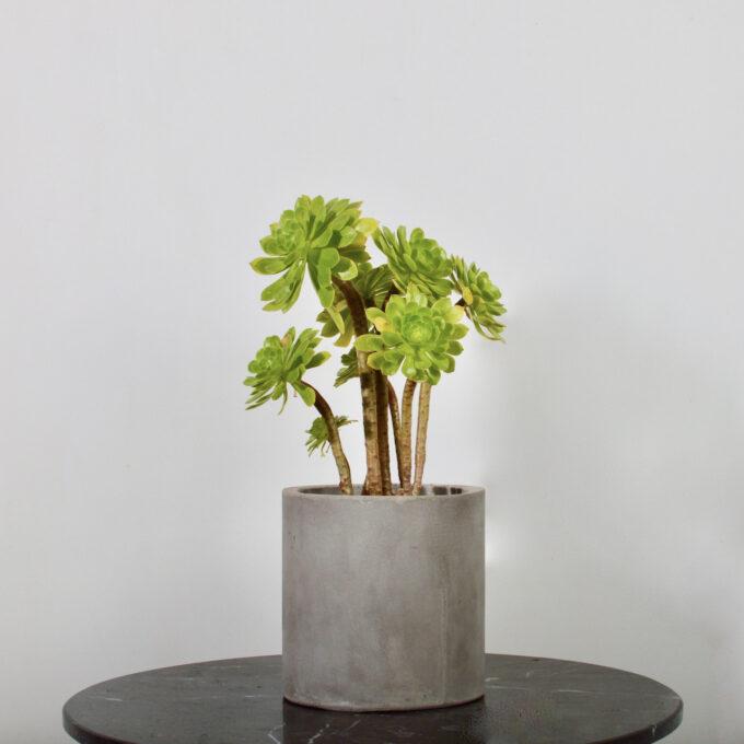 Aeonium Verde