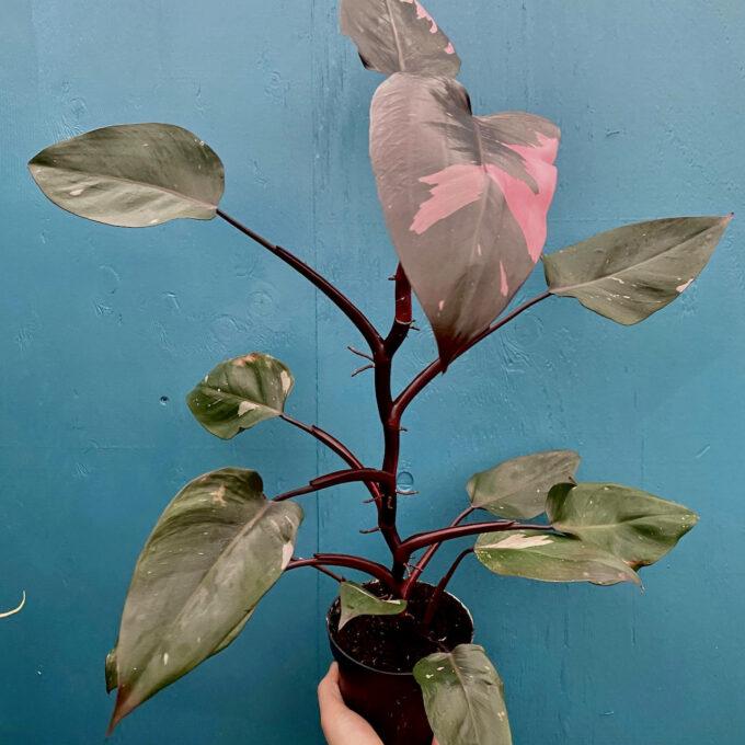 Philodendron Pink Princess XXL