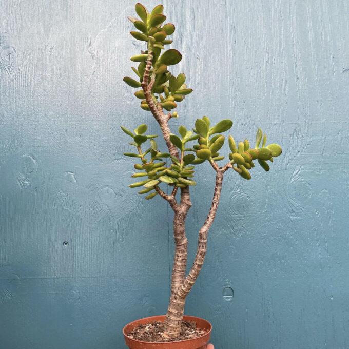 Grassula Minor
