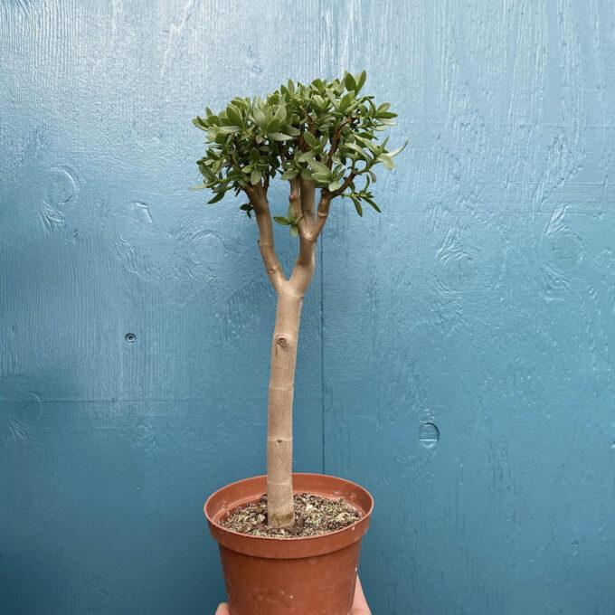 Grassula Sarcocaulis