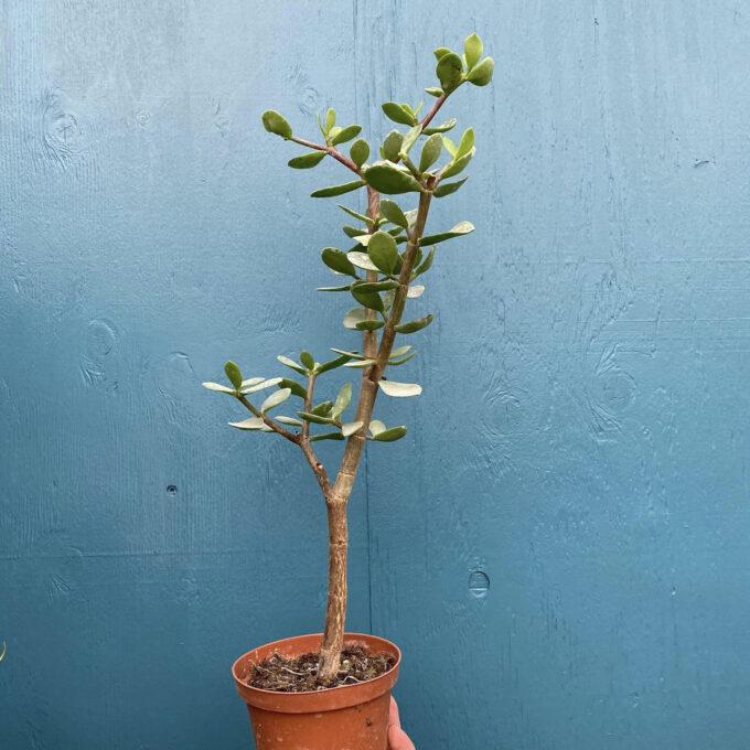 Grassula Afra Verde