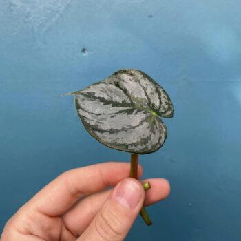 Philodendron Brandtianum Stiklinge