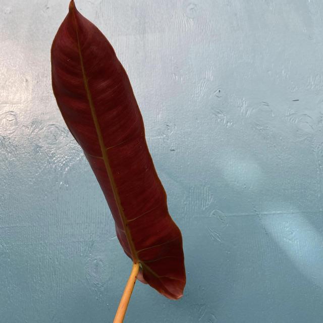 Philodendron Atabapoense
